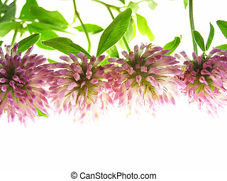 red clover - Close-up of violet clover flower against white...