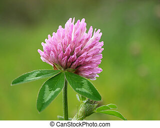 red clover - Close-up of violet clover flower against green...