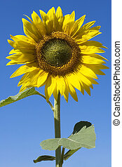 sunflower and blue sky - sunflowers and blue sky in summer...