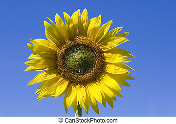 Sunflower and blue sky - Sunflowers and blues sky in summer...
