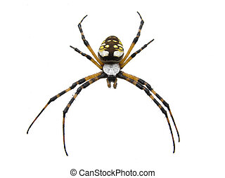 Isolated Garden Spider - An isolated macro of a garden...