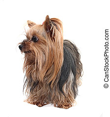 yorkshire - cute dog (yorkshire) on the white background