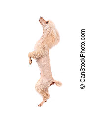 poodle - cute dog (poodle) on the white background
