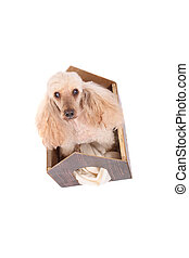 poodle and small home - cute dog poodle in small house on...