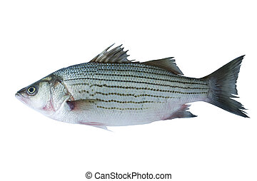 Sea bass  - Striped sea bass isolated on white background