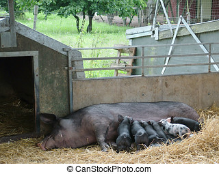Organic Pig Farm - Mother pig and piglets in a pigsty