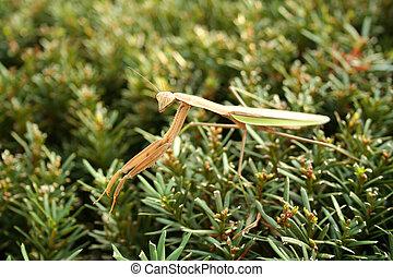 Praying mantis - A Large Praying mantis on a bush