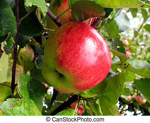Apple ready to harvest 2 - Red juicy apple ready to harvest...