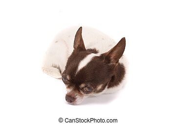 chihuahua - white and brown chihuahua on the white...