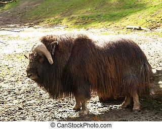 musk ox - a shot of a Musk Ox