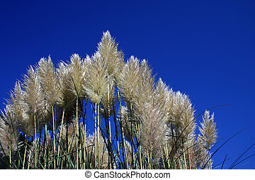 Pampas Grass - Pampas grass a very tall ornamental grass...