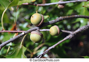 Acorns - Three acorns on the branch of an oak tree