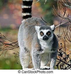 Ring-tailed Lemur (Lemur catta) - Portrat of a Ring-tailed...