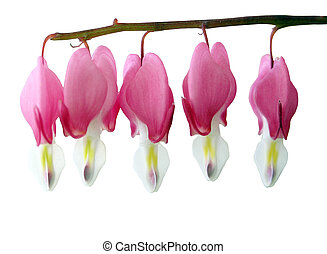 Dicentra Spectabillis (Bleeding Heart) isolated with...