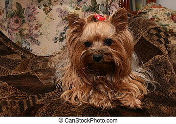 yorkshire - dog yorkshire is resting on the brown background...