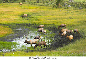 Wild Elk - Elk in the Cordeliers mountains prairies tundra...