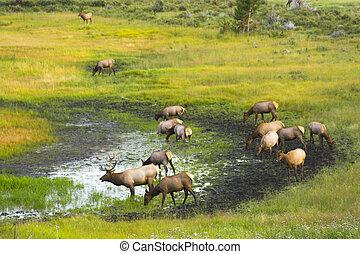 Wild Elk - Elk in the Cordeliers mountains prairies tundra...