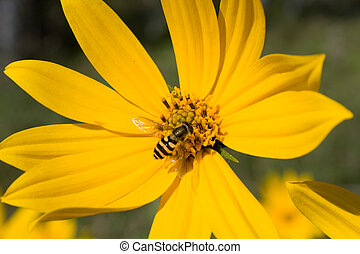 bee pollinating yellow flower - close-up photo of bee...