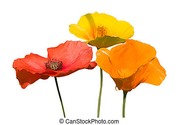 Poppies - some beautiful colorful poppie flowers isolated on...