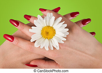 Camomile - Beautiful female fingers with white camomile