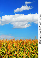 Corn field - Farm field with growing corn under blue sky.
