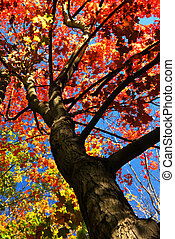 Autumn maple tree with red leaves in the fall forest