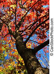 秋天, 楓樹, 樹