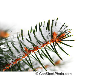 Snowy spruce branch - Christmas background with snowy spruce...