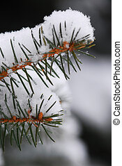 Snowy spruce branches - Macro of spruce branches covered...