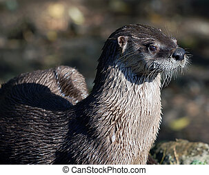 Northern River Otter Lontra canadensis - Close-up portrait...
