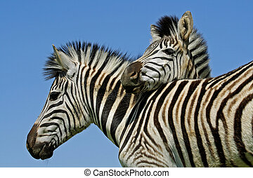 Plains Zebras - Two Plains Burchells Zebras Equus quagga,...