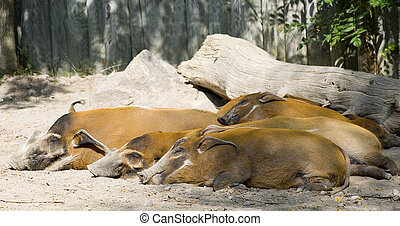 Red river hogs - A family of sleeping red river hogs