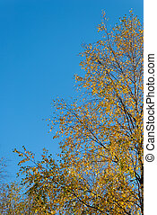 Golden Birch