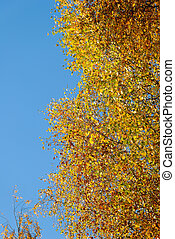 Birch in Golden Blae - Golden birch on blue sky, lit by the...