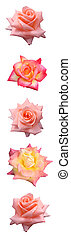Vertical Rose Bar - Isolated vertical bar of pink & yellow...