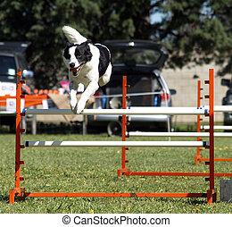 Sheep Dog Jumping - A sheep dog clearing a hurdle at an...