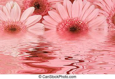 Gerbera Daisies - Gerbera daisies in water