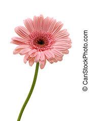 Gerbera Daisy - Gerbera daisy