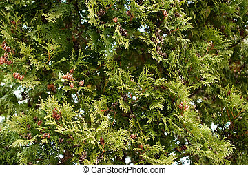 Evergreen Texture - A green tree texture background image.