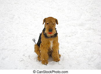 Airedale on snow