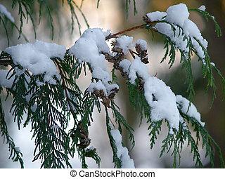 nieve, cubierto, Cedro, rama