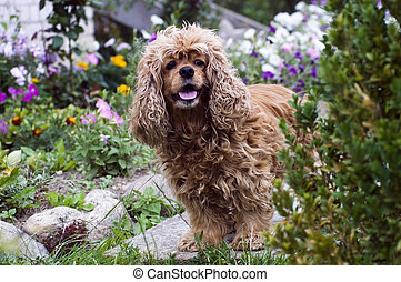 Cocker Spaniel - Lovely braun dog-Cocker Spaniel