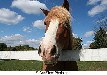 Belgian Horse - Portrait taken with a wide angle lens,...