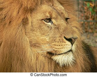 Lion head - A head of a relaxing lion