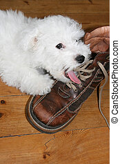Licking puppy - Naughty puppy licking shoelaces bichon frise...