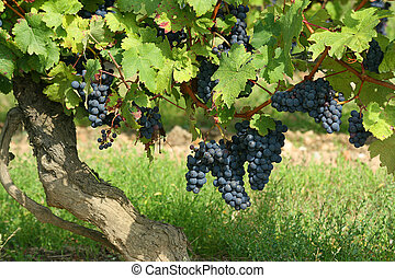 French winery - Black grapes in a french winery