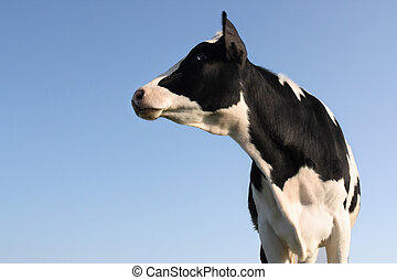 Sideway Cow - Cow looking sideway over a blue sky background