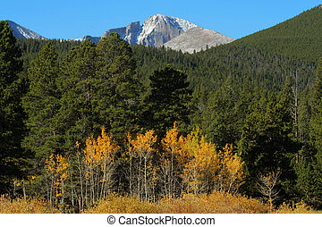 Longs Peak, autumn aspens - row of golden aspens below Longs...