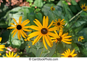 Three lobed Rudbeckia - Brown eyed susans blooming in a...