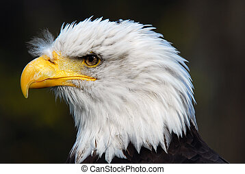 American Bald Eagle (Haliaeetus leucocephalus) - Portrait of...
